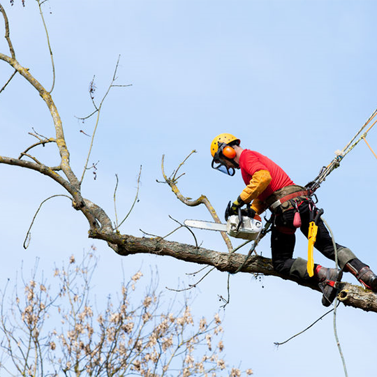 Tree Surgery and information by Green Belt